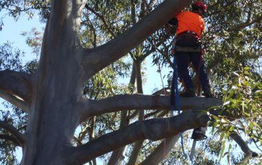Dead Tree Wooding North Shore Sydney