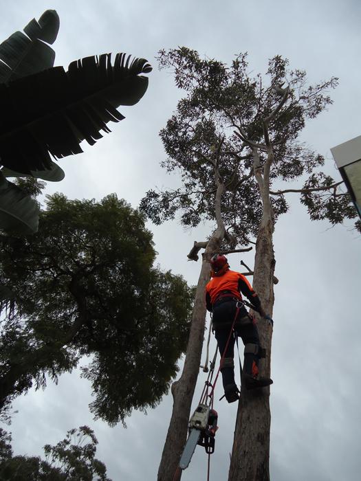 North Shore Sydney Dead Wooding